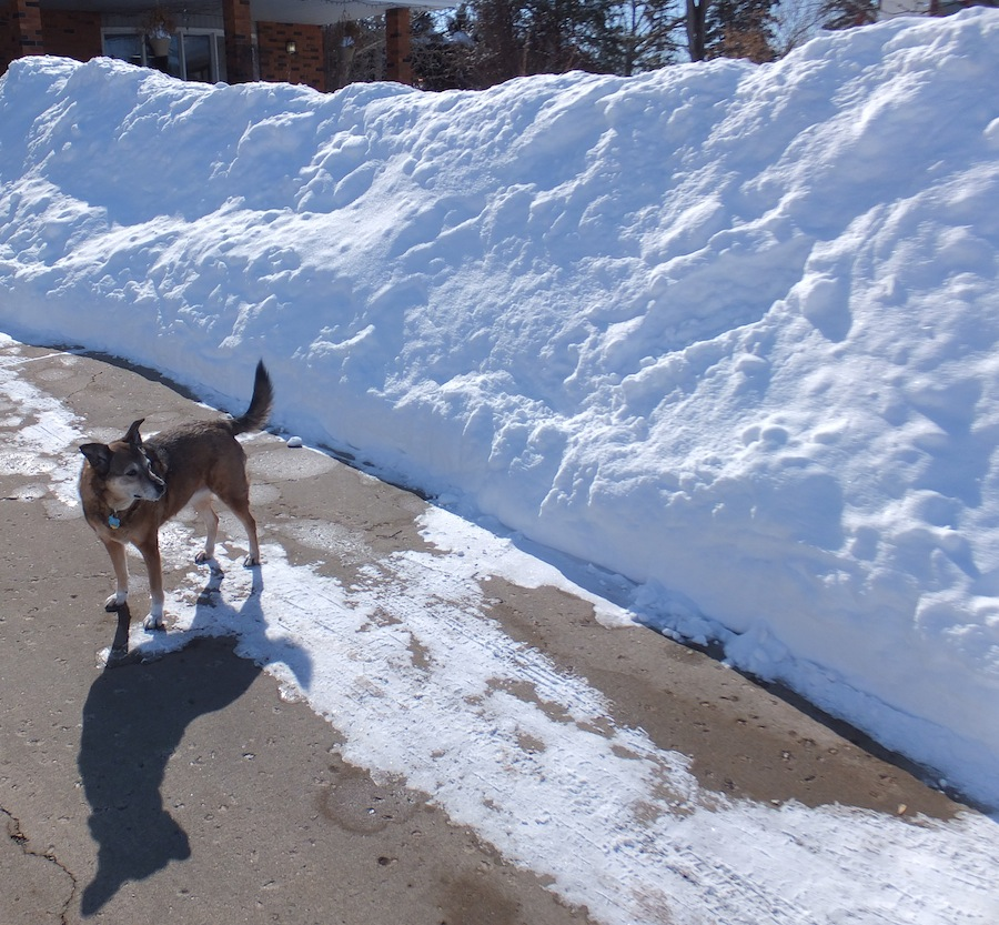 Maggie stands in awe of my shoveling prowess