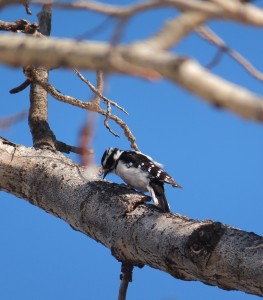A woodpecker of some sort...