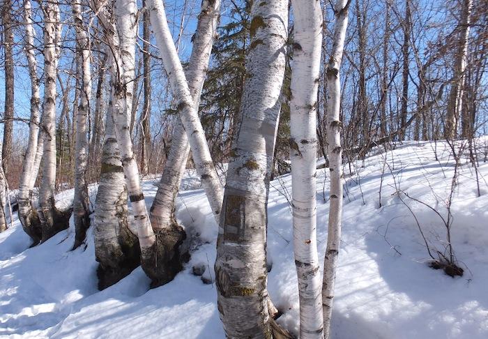 Birch!