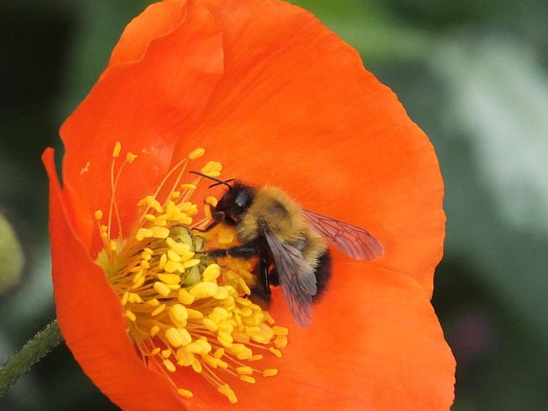 Red poppy bee