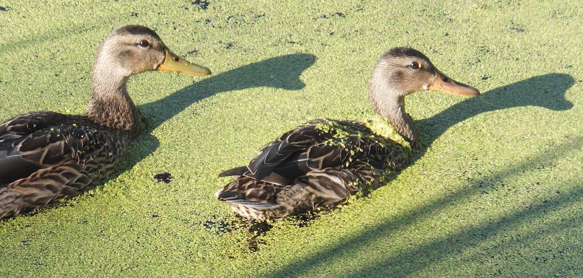 Ducks One