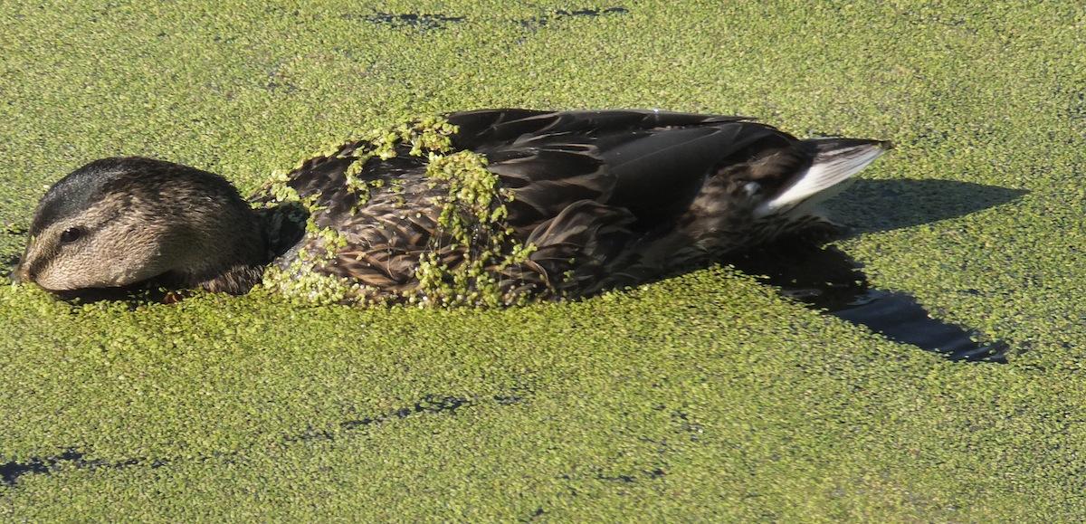 Ducks Three