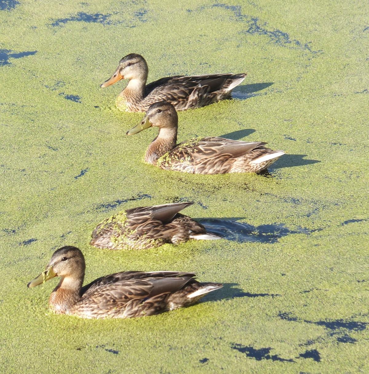 Duckscape