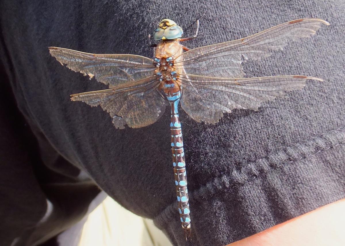 Elk Island dragonfly