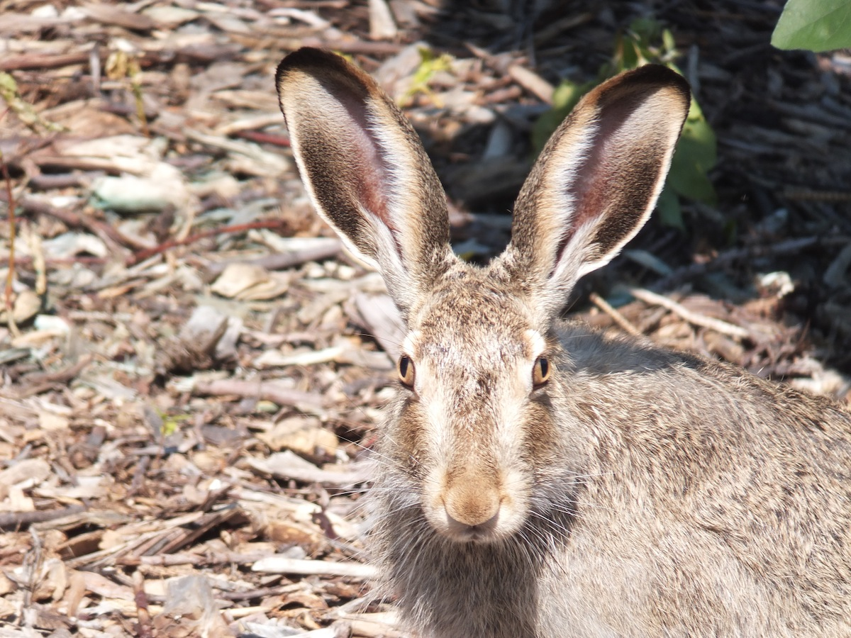 Full frontal hare