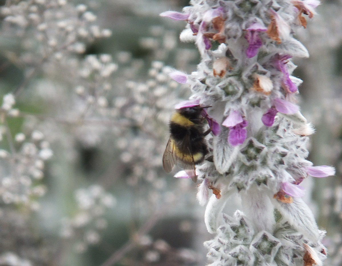 Hairy plant with bee