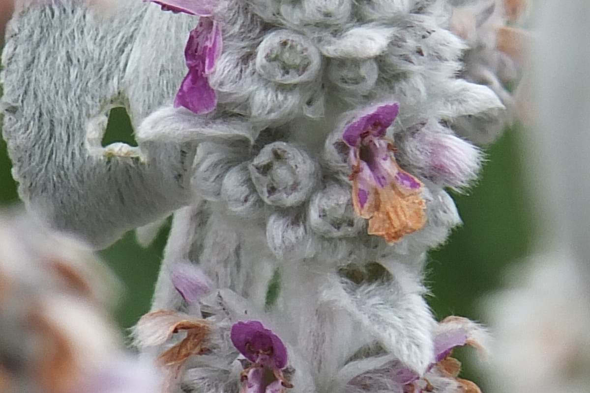 Hairy plant in the garden