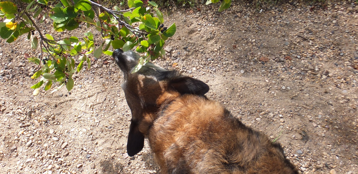 Maggie cleaning off saskatoons from a branch