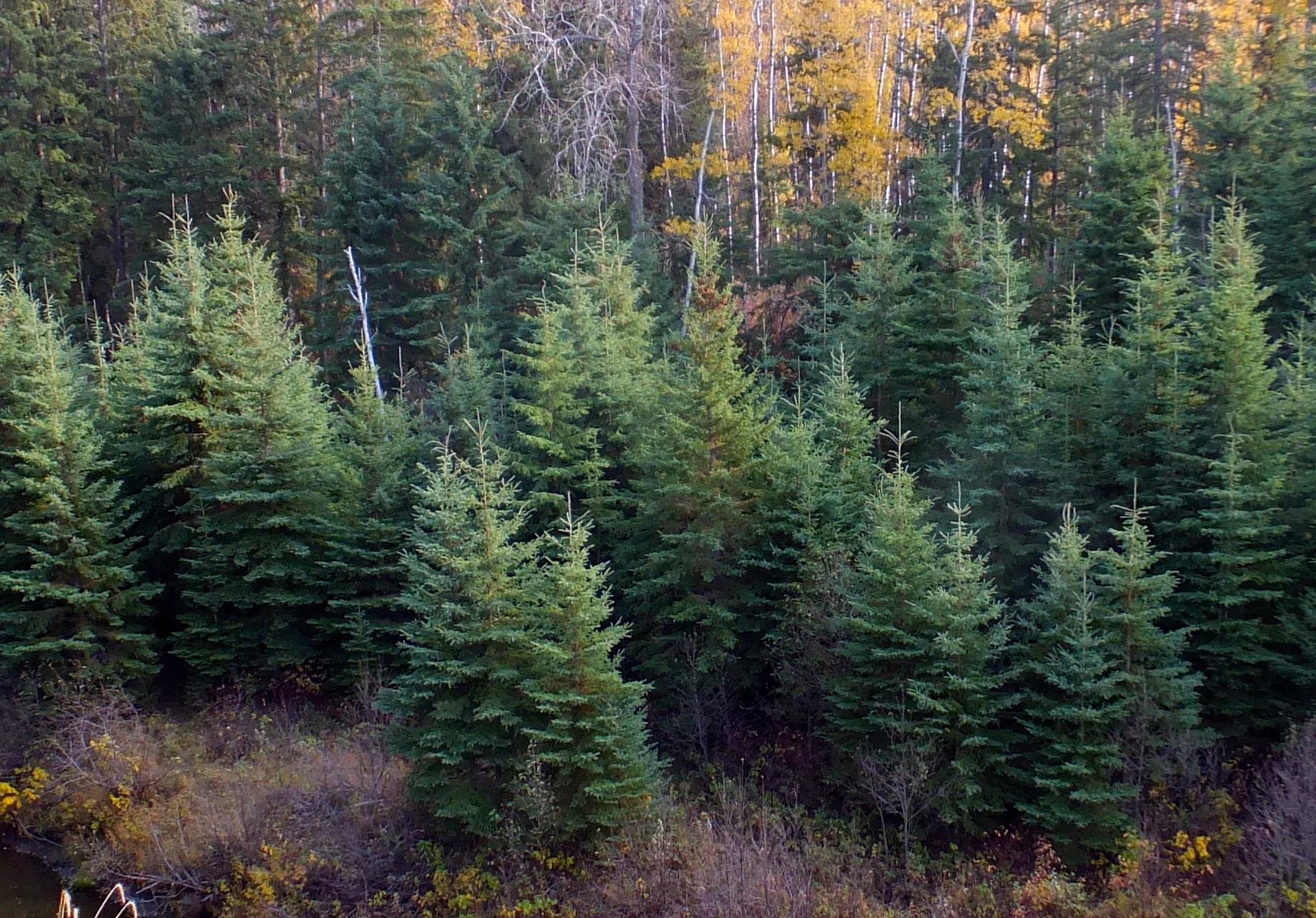 Blackmud Creek spruce