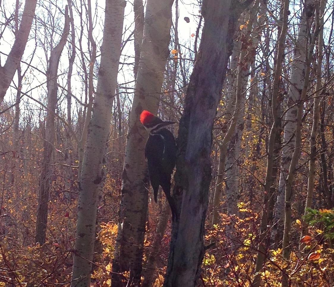 Pileated Woodpecker in Whitemud Creek Ravine