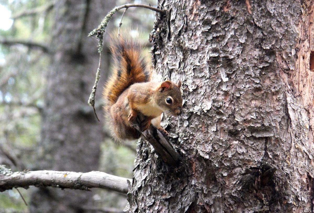 An unusually compliant squirrel