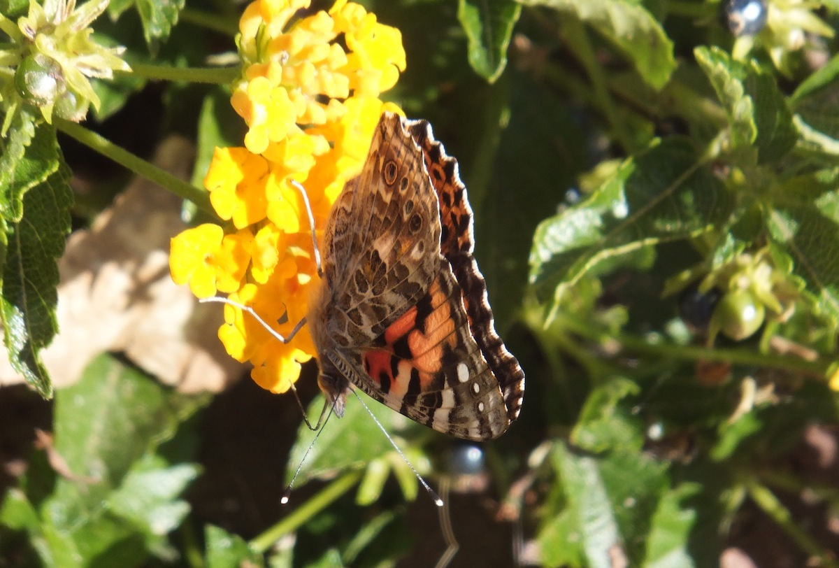 Sedona butterfly