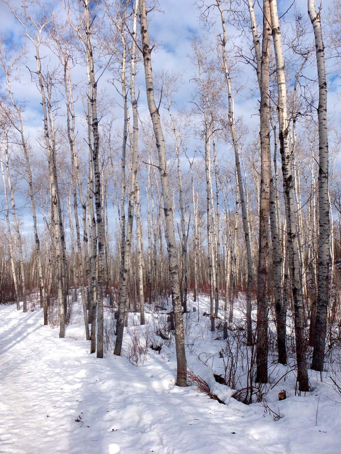 Birches in Whitemud Ravine