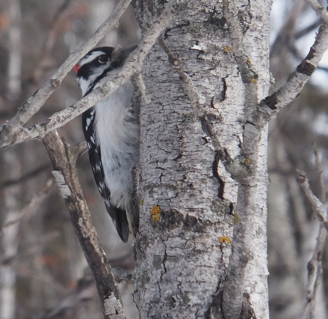 Downy (I think) Woodpecker