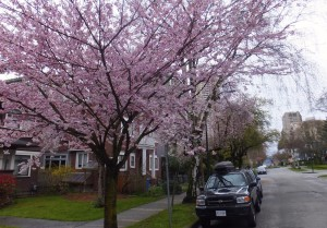 Cherry Blossoms on Jervis Street
