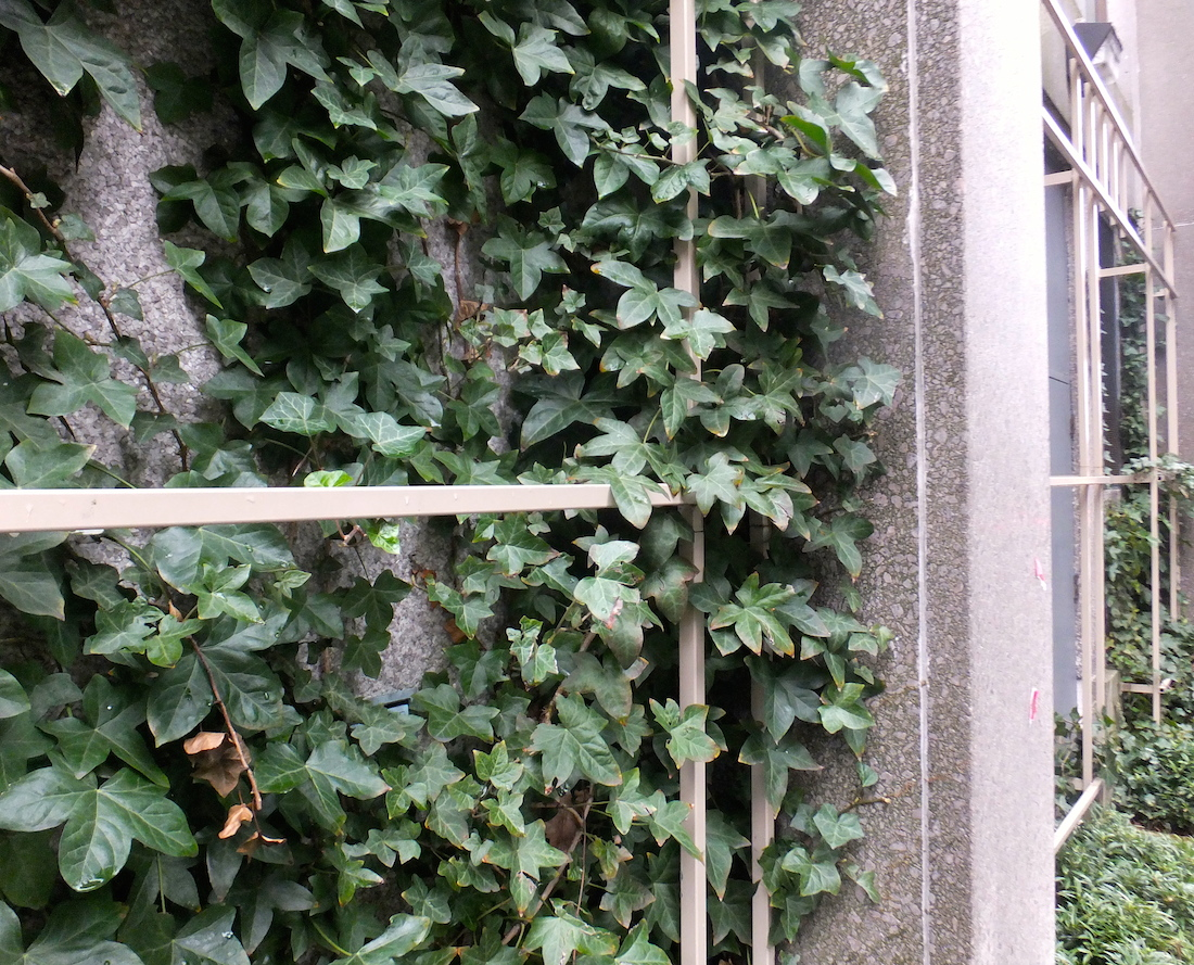 Ivy growing outside, on the way to the hotel