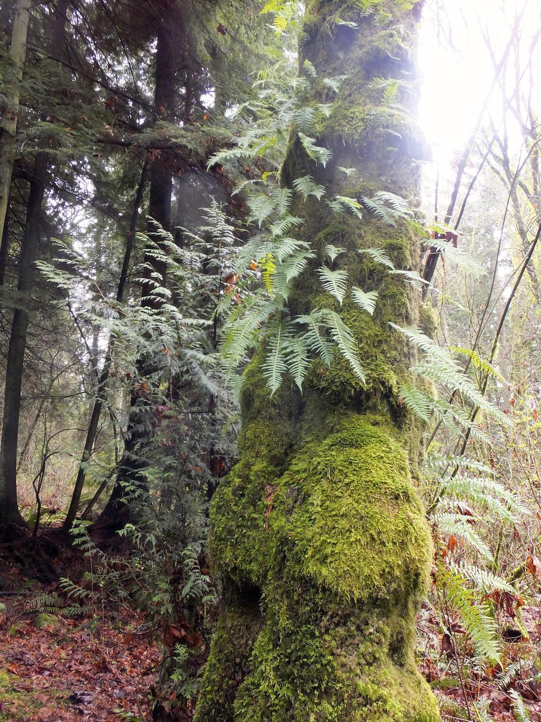 Moss covered tree II