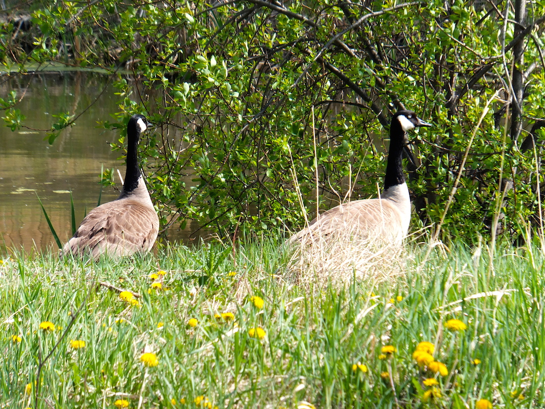 Mother & father goose