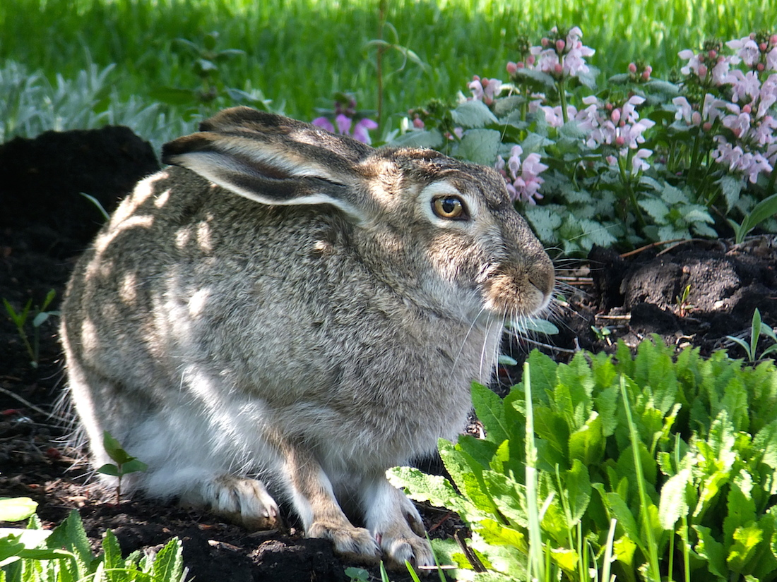 On the way to the ravine, a fresh rabbit sprouts from the garden