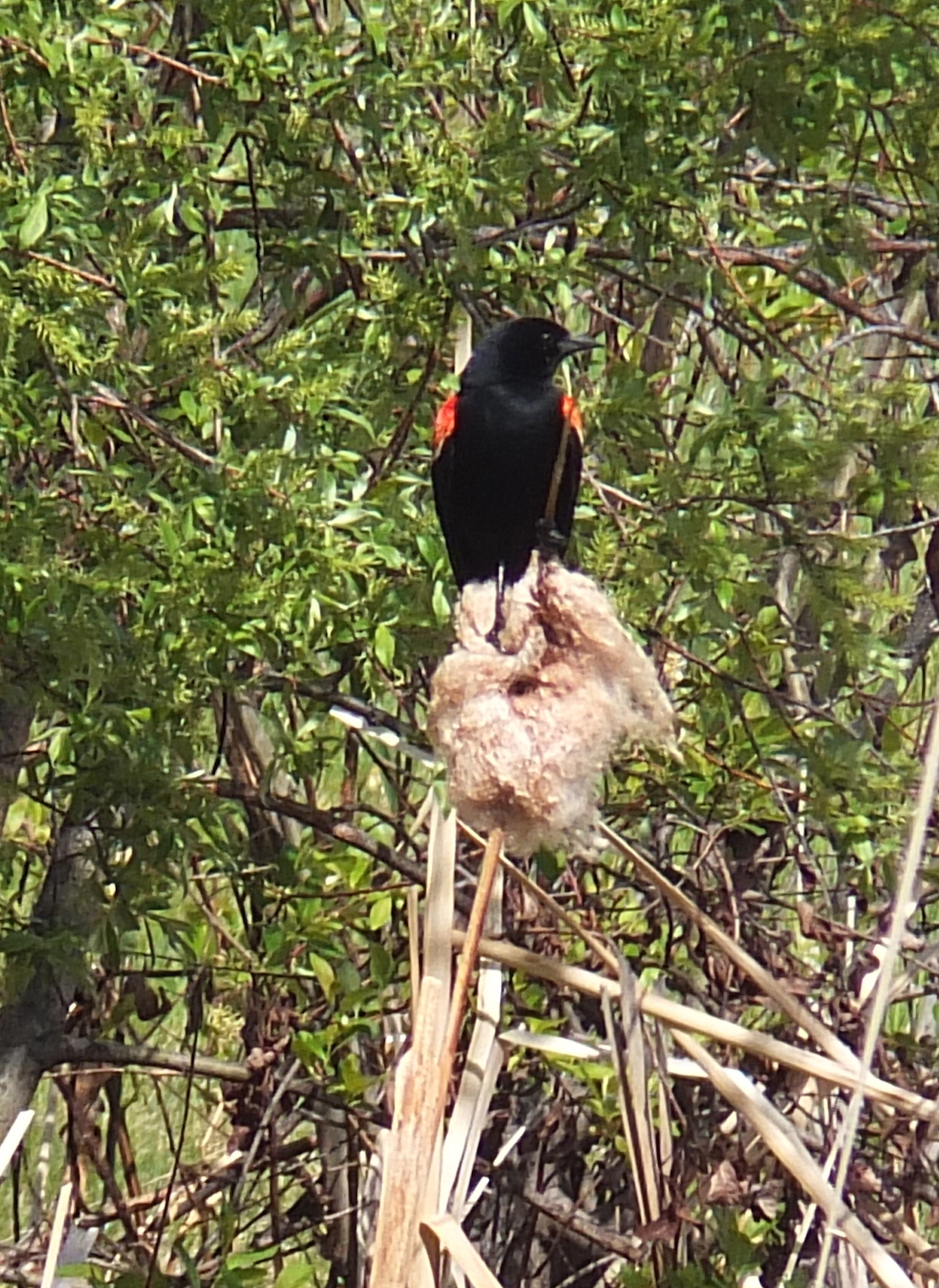 ...also known as the Redwing Blackbird pond...