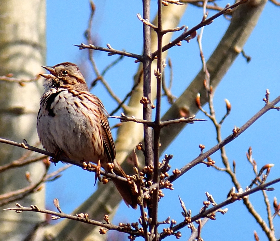 Song Sparrow at Louise McKinney Park