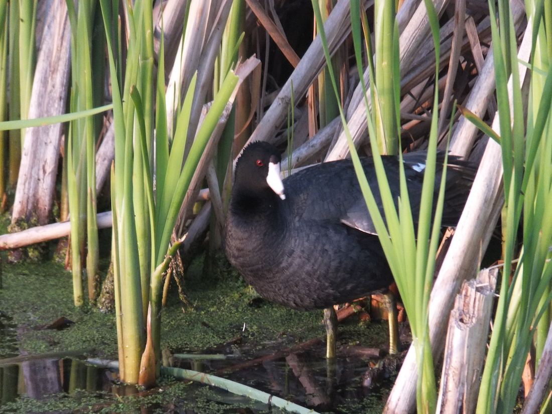 Old Coot without wife...
