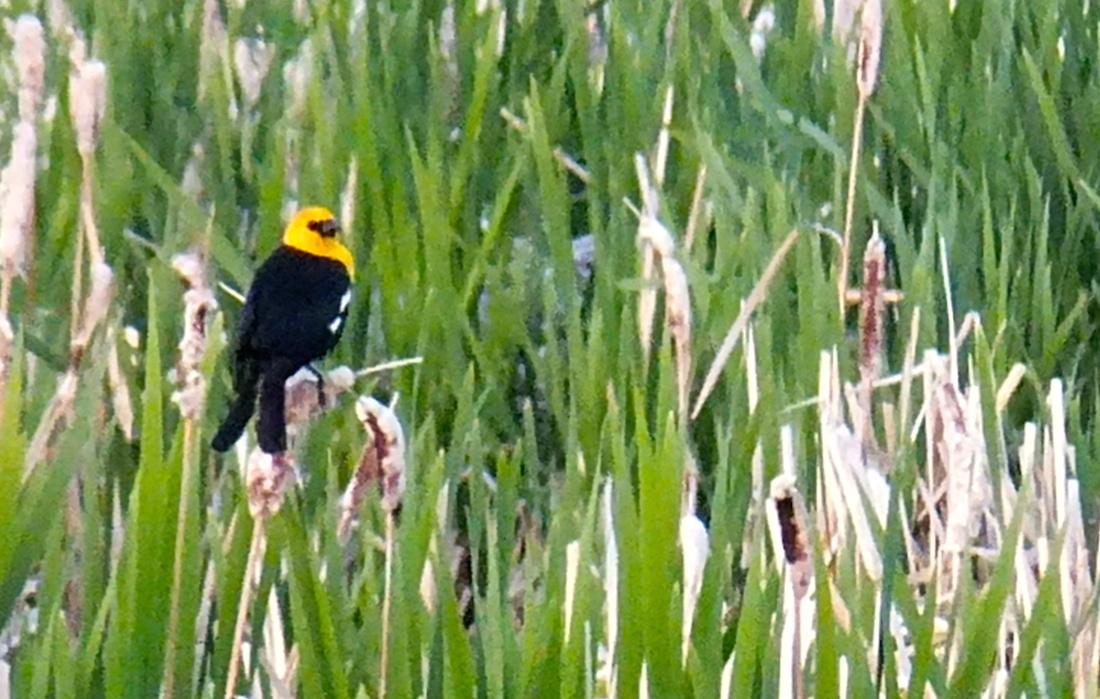 When canaries schtoop crows...