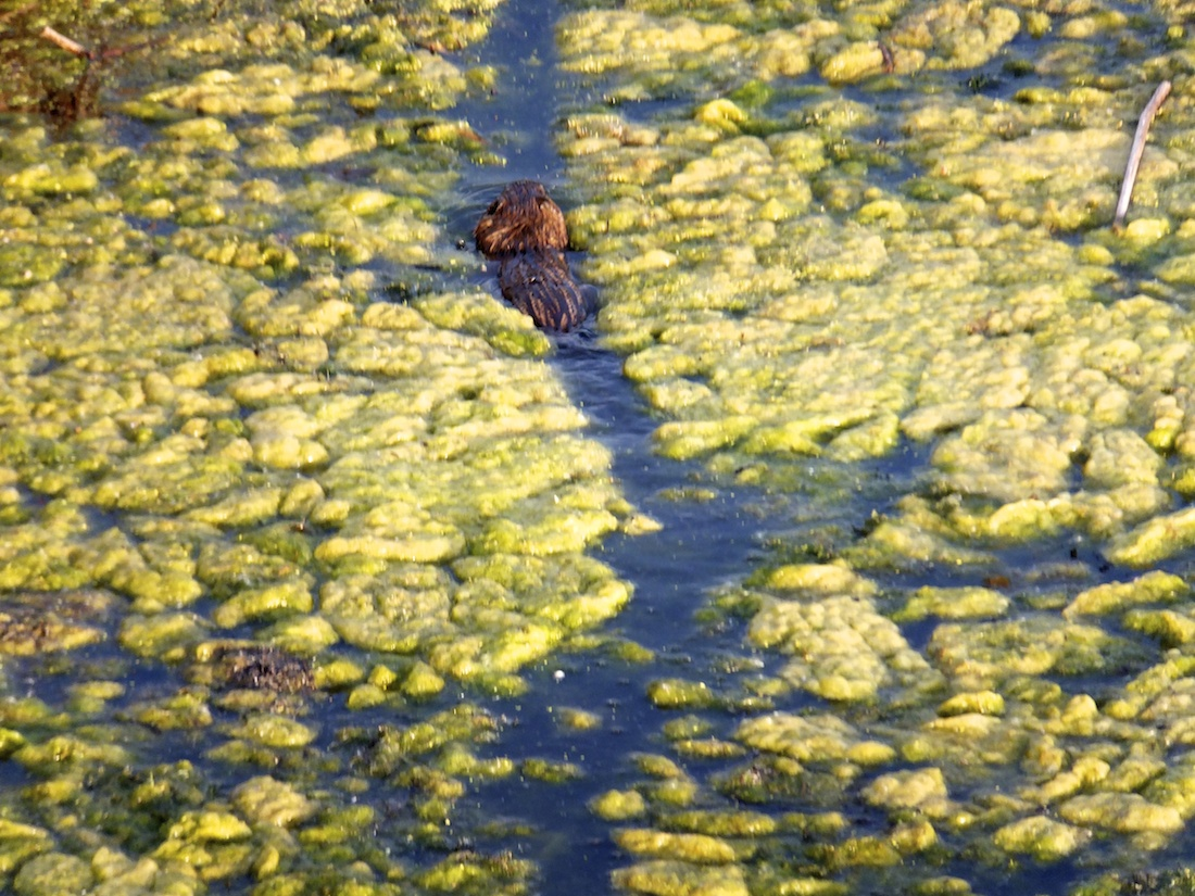 'Beaver in Slime'