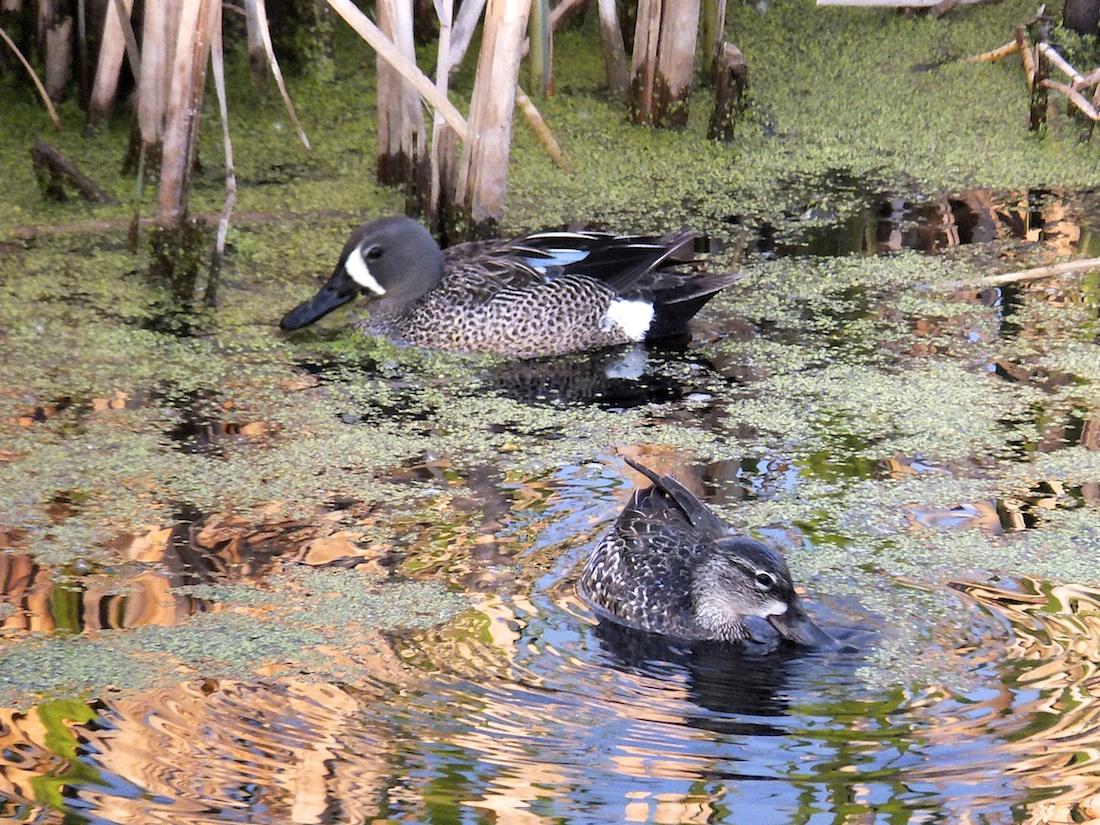 Ducks of some ilk...