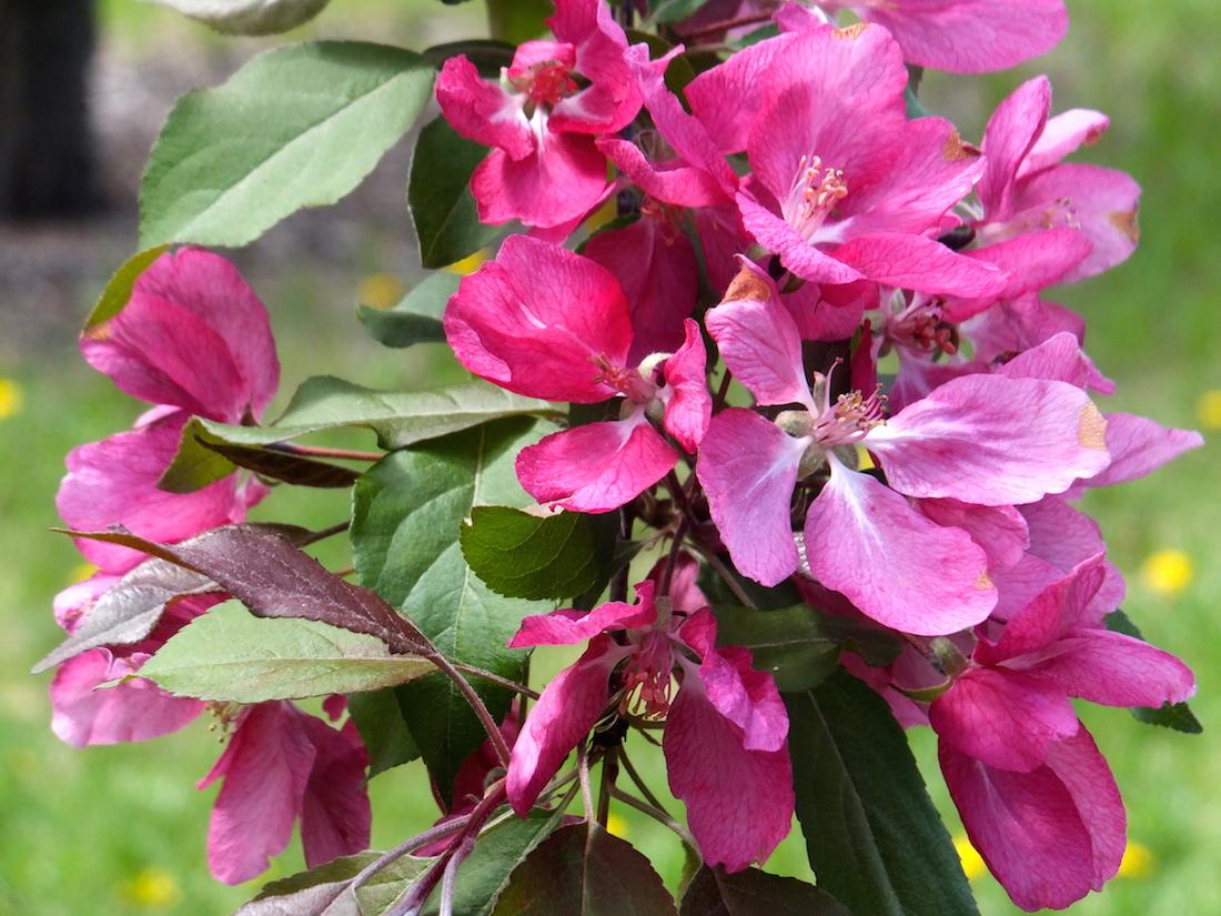 Apple blossoms in Louise McKinney Park
