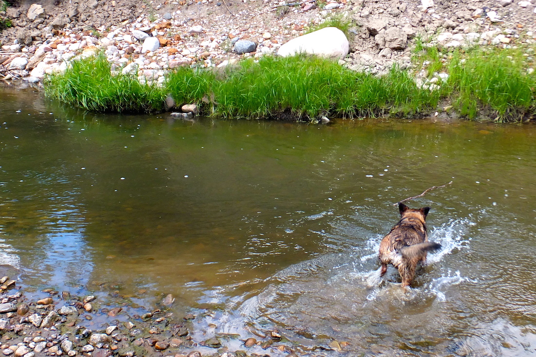Maggie dives for a stick