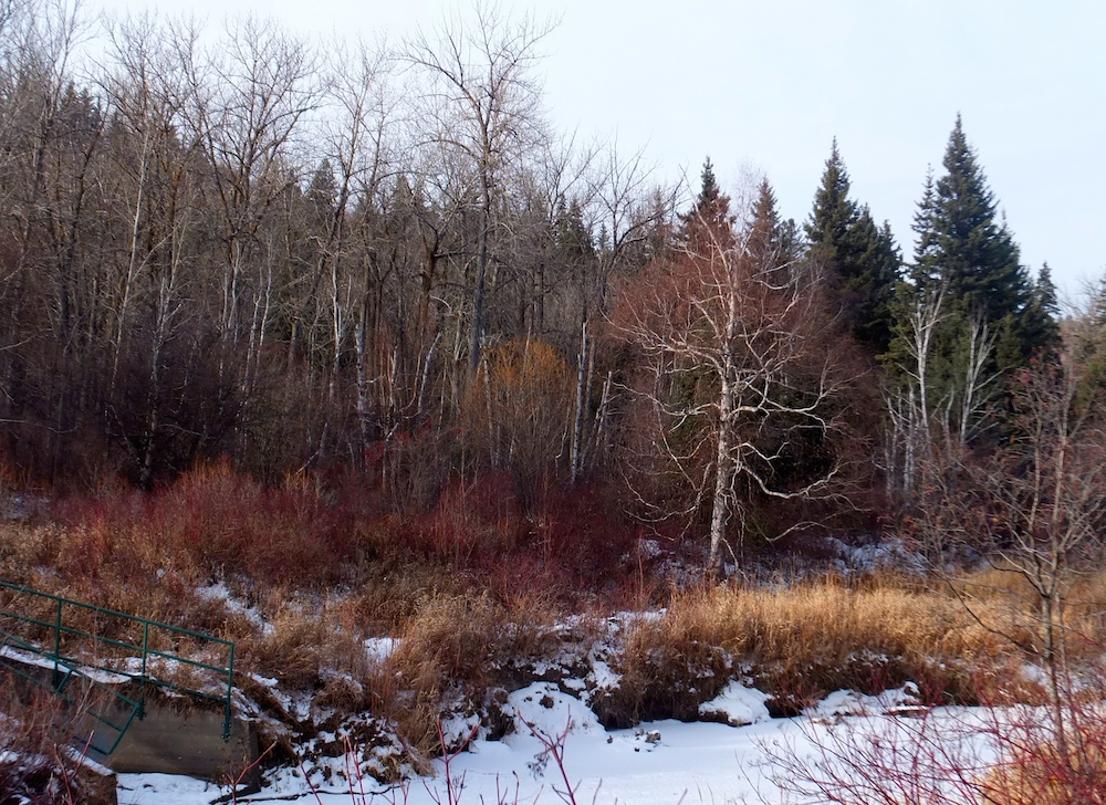 Whitemud trees in white