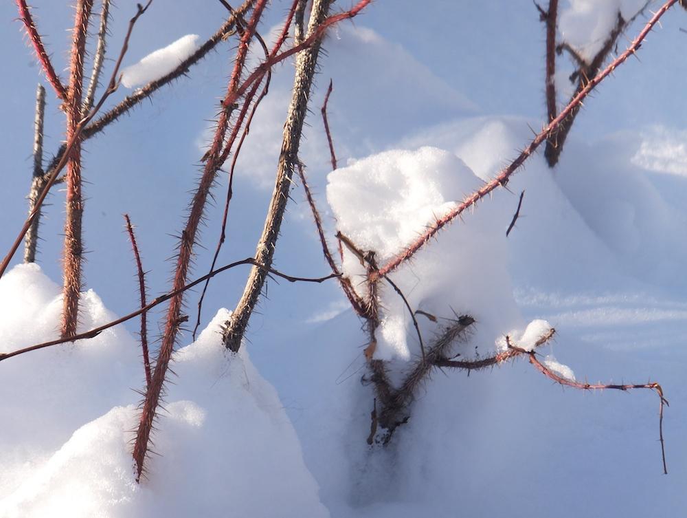 5.Whitemud twigs