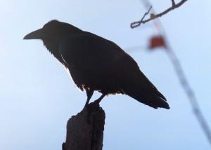 7.Raven