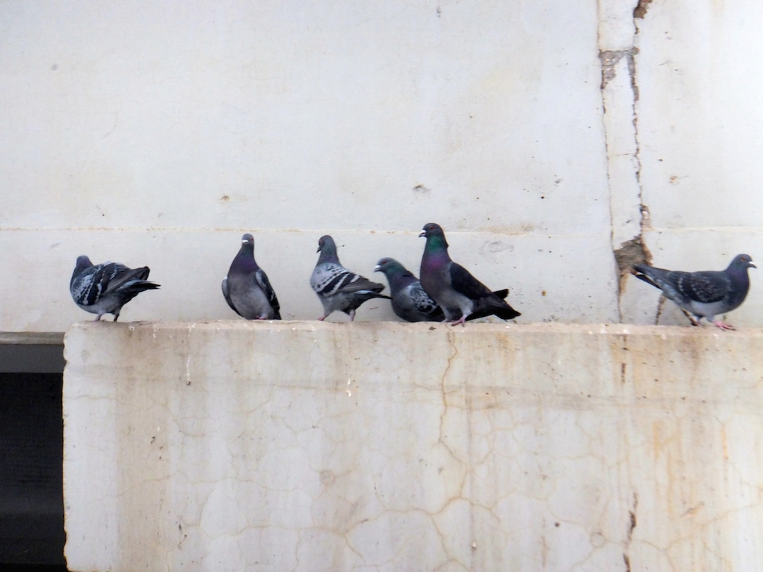 Pigeons in Rossdale-the most colourful scenery
