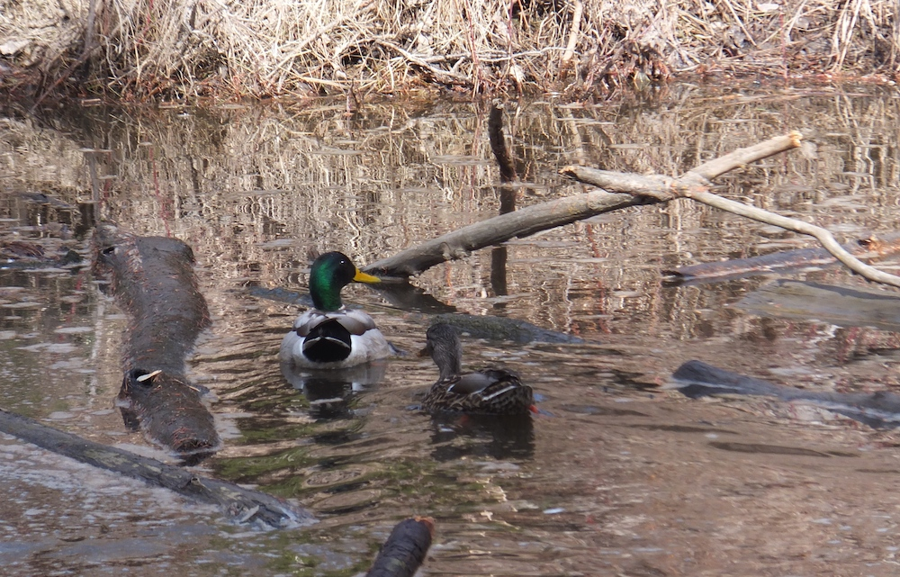 Mallard and wife at a newly discovered hidey hole