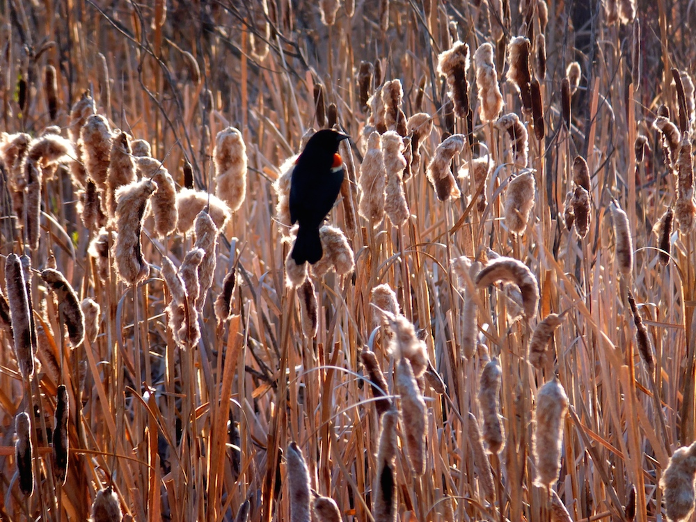 Red-winged Blackbird surveying its territory