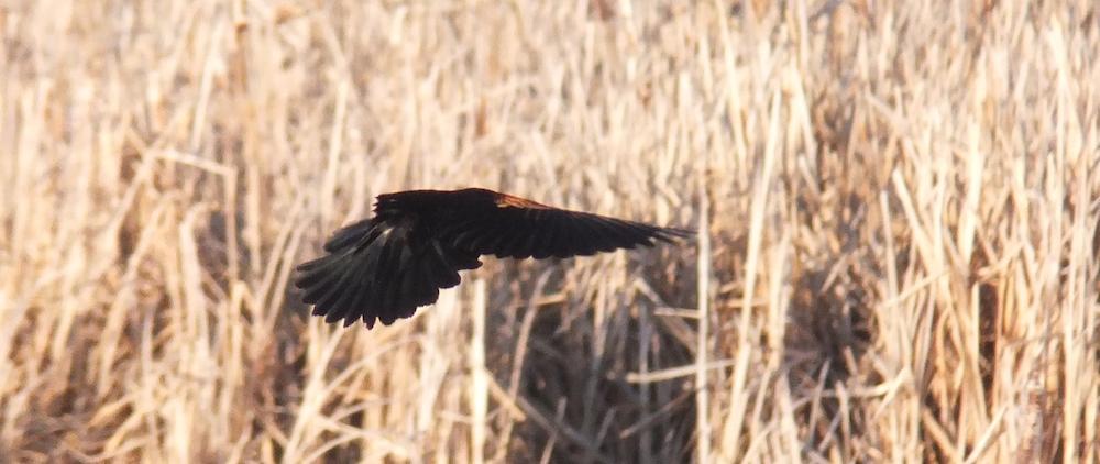 Big Lake Red Winged Blackbird taking wing