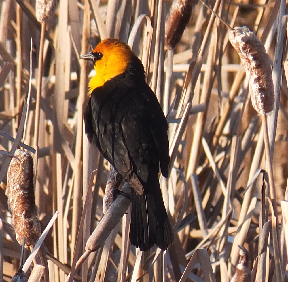 Big Lake Yellow Headed Blackbird in reeds