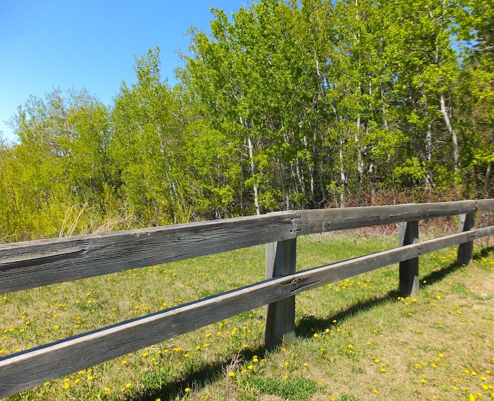 Dandelions fence