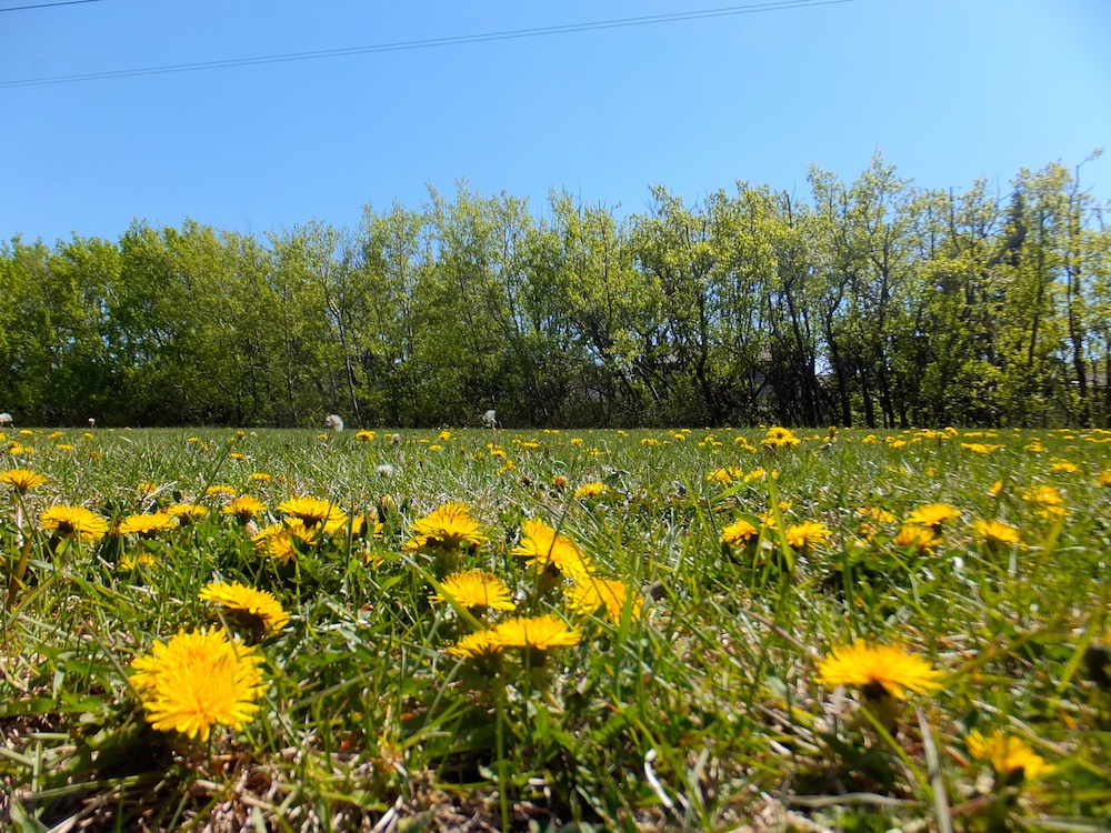 Dandelions powerline