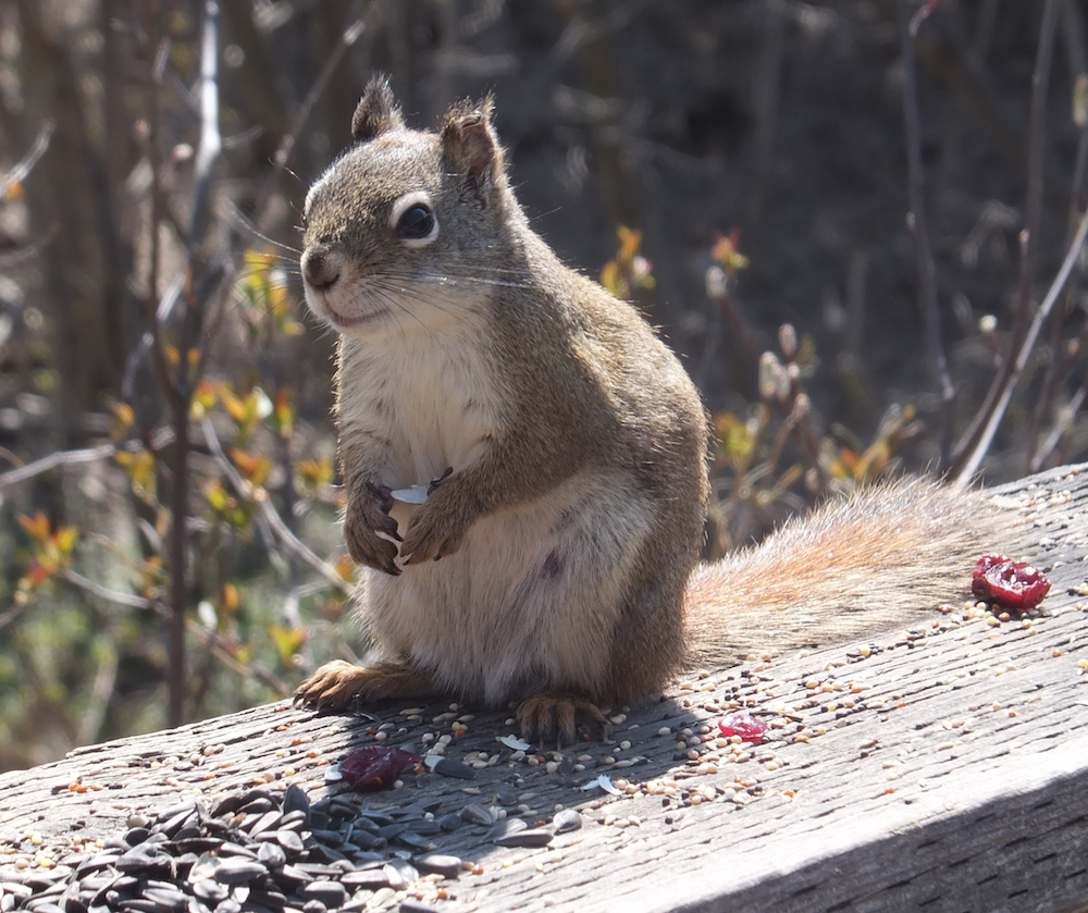 Squirrel, who unfortunately an angry-looking clip on his ear