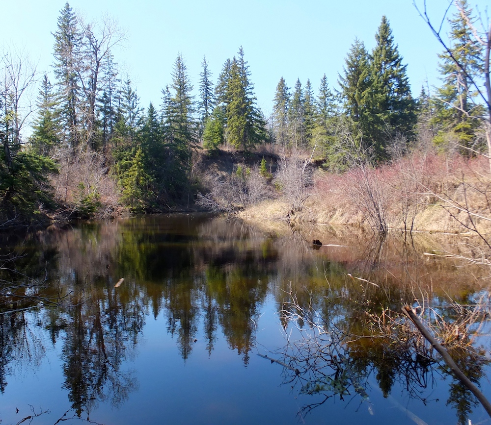 Whitemud Creek, lair of the duck