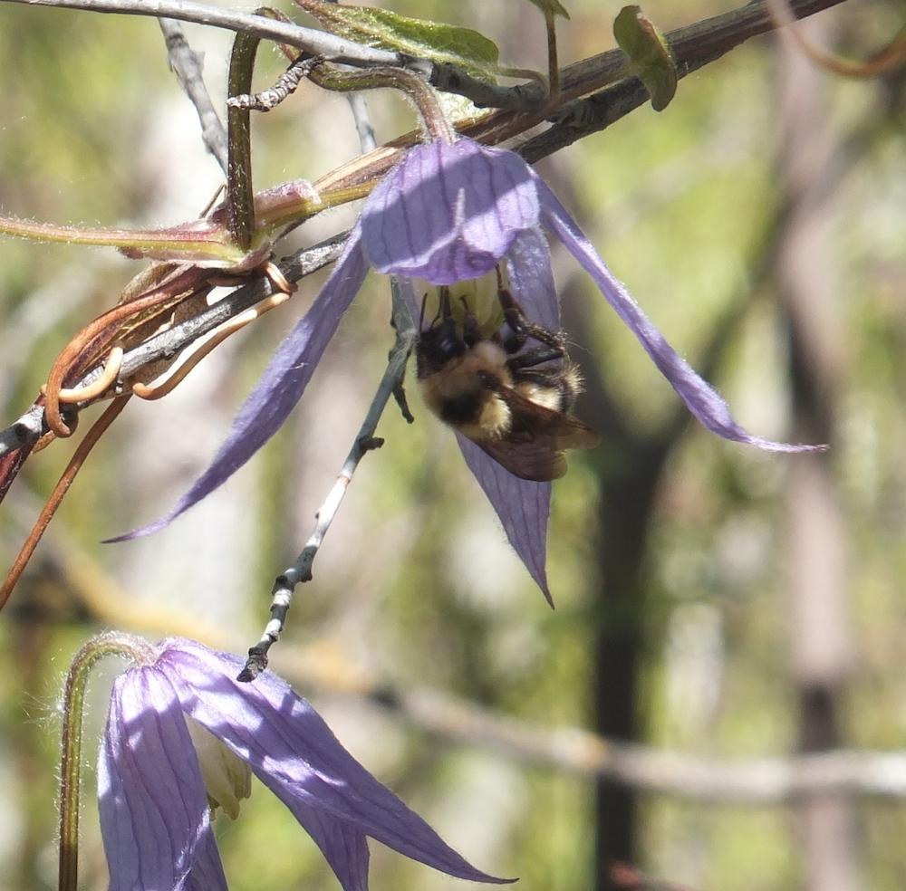 Wild Clematis after bee