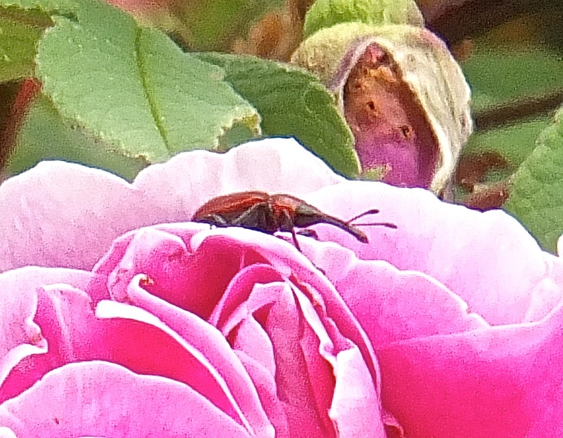 The mighty Rose Weevil