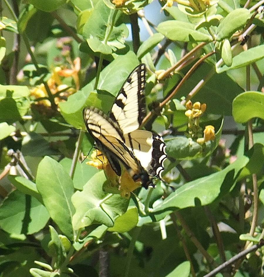 Whitemud butterfly