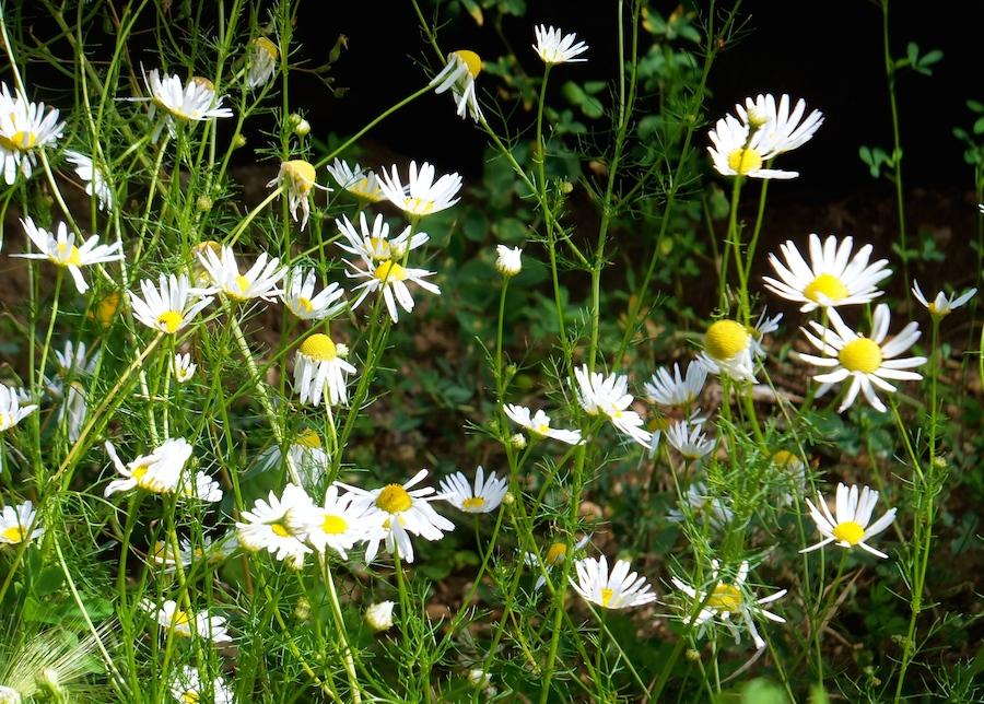 Fort Edmonton daisies