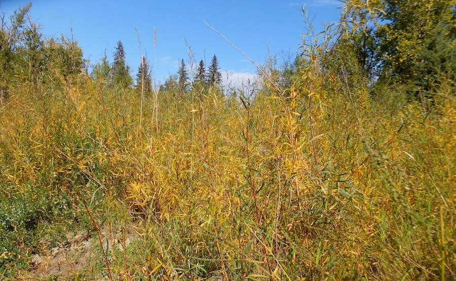 Whitemud Ravine yellow1