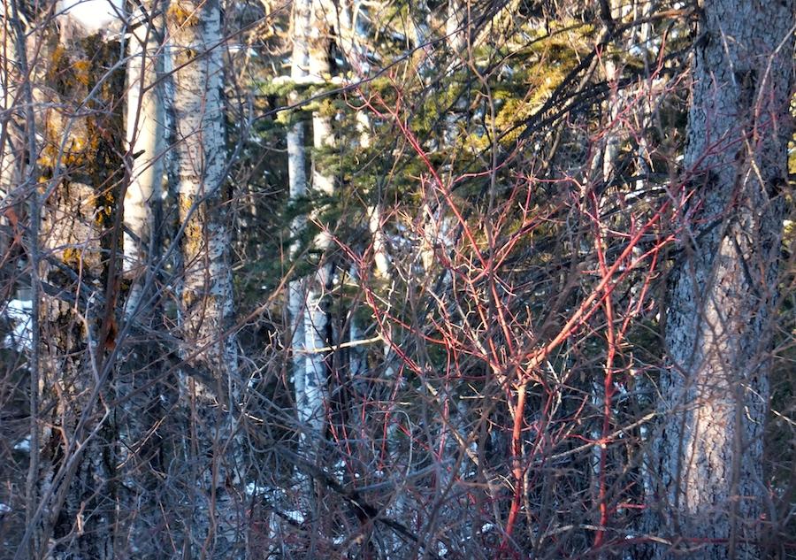 Whitemud Trees