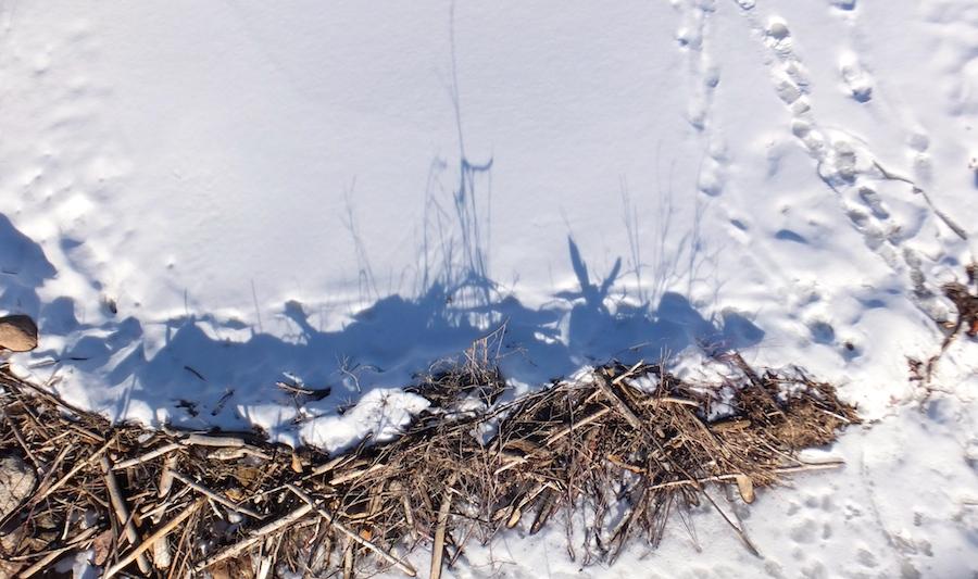 Winterized beaver dam in Whitemud Creek